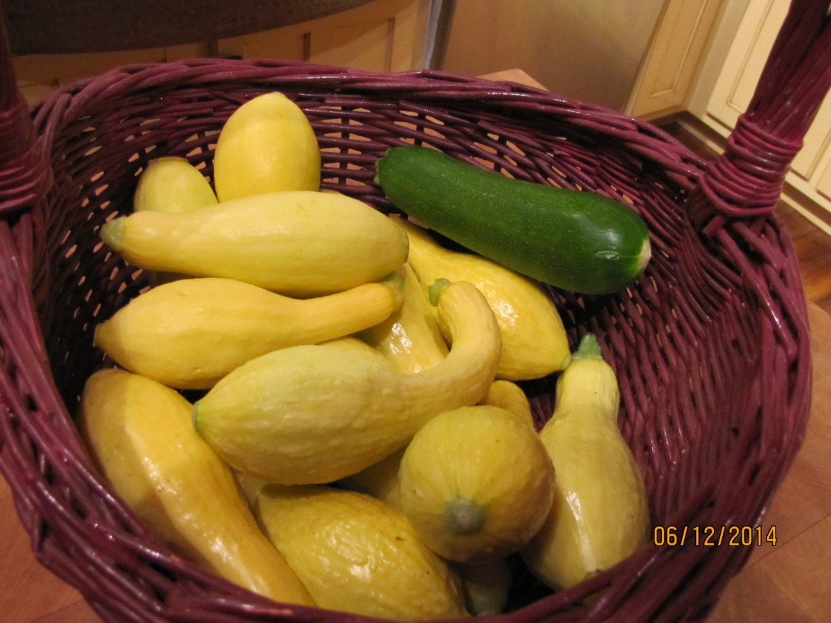 Summer squash just waiting to be made into a scrumptious squash casserole.  Squash casserole freezes well.