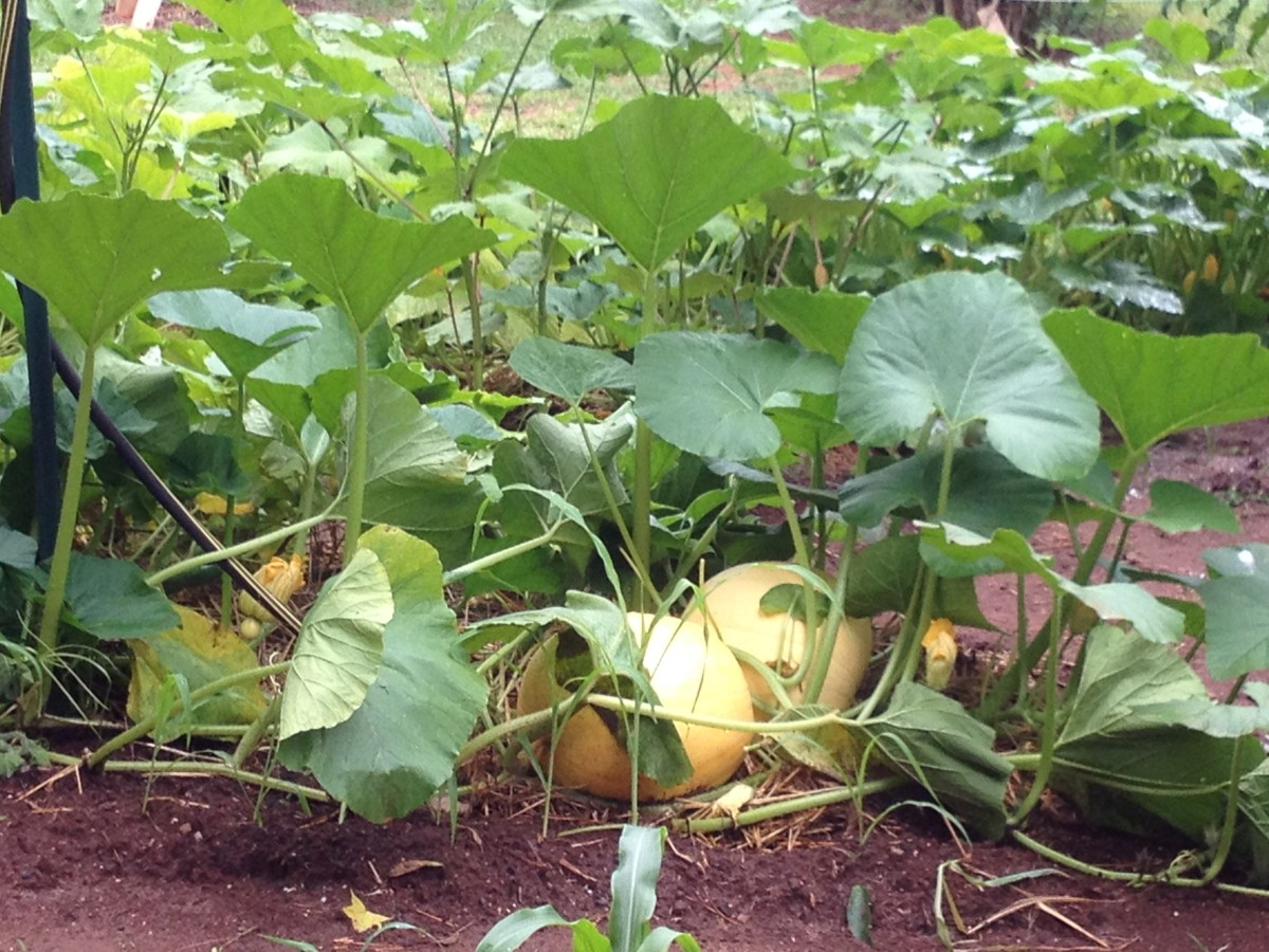 The pumpkins will become fall decorations once harvested.
