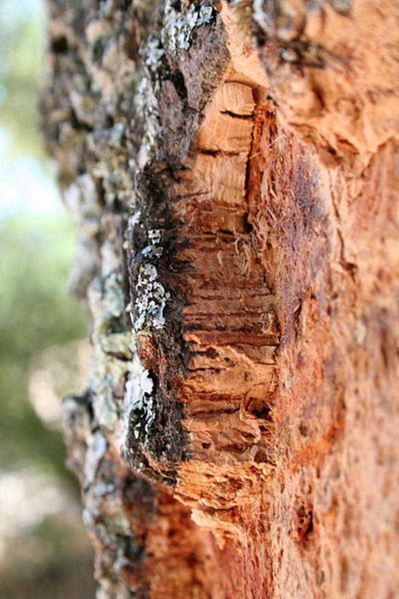 The cork oak tree Quercus suber, in a picture taken near Arraiolos, Portugal