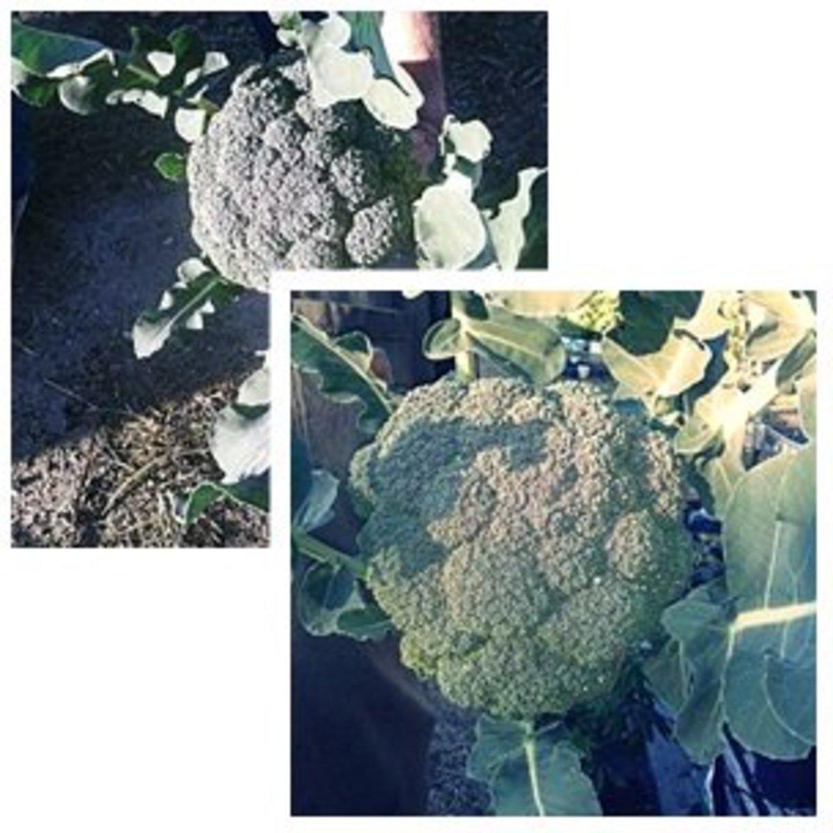 Fresh broccoli from the garden.