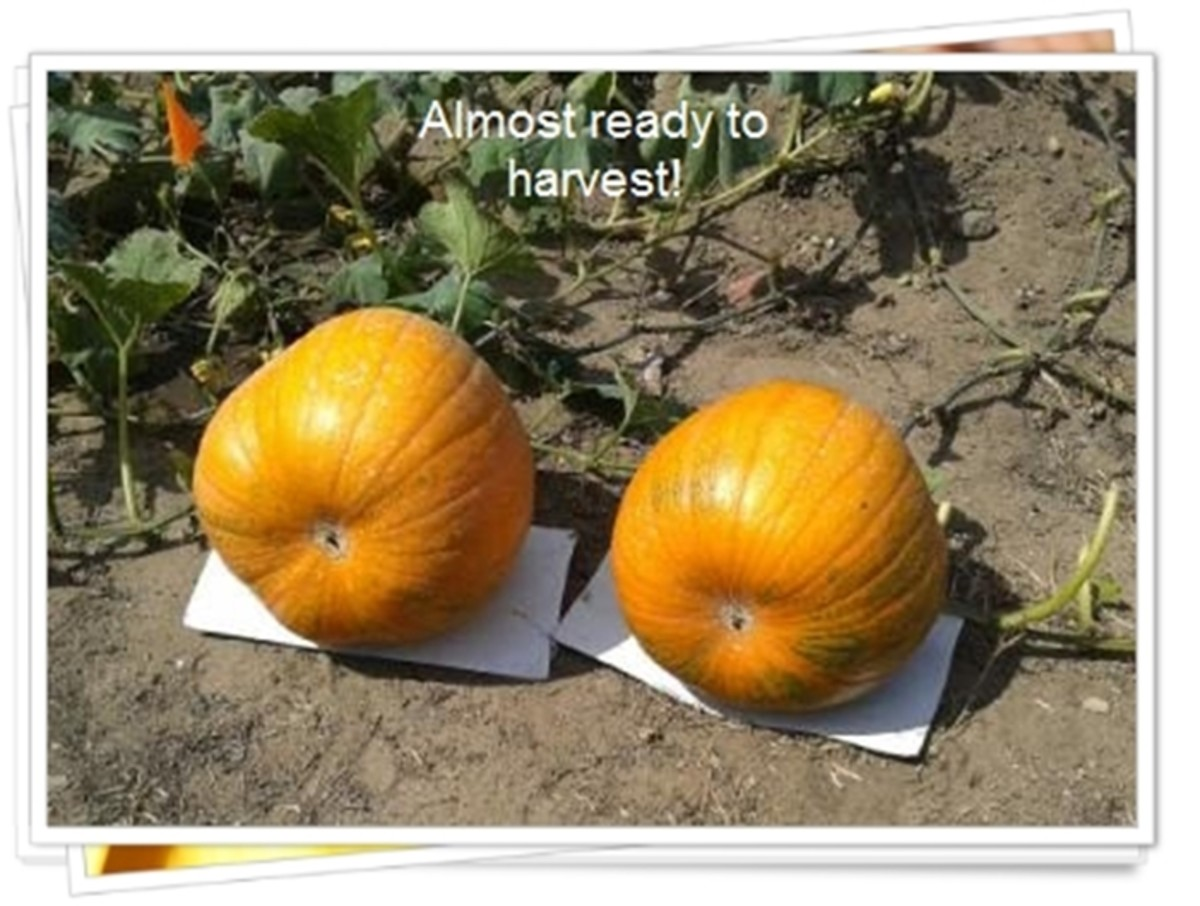 These two pumpkins are ready to harvest.