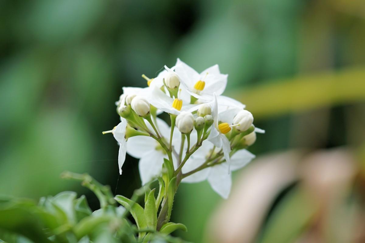 jasmine-flowered nightshade