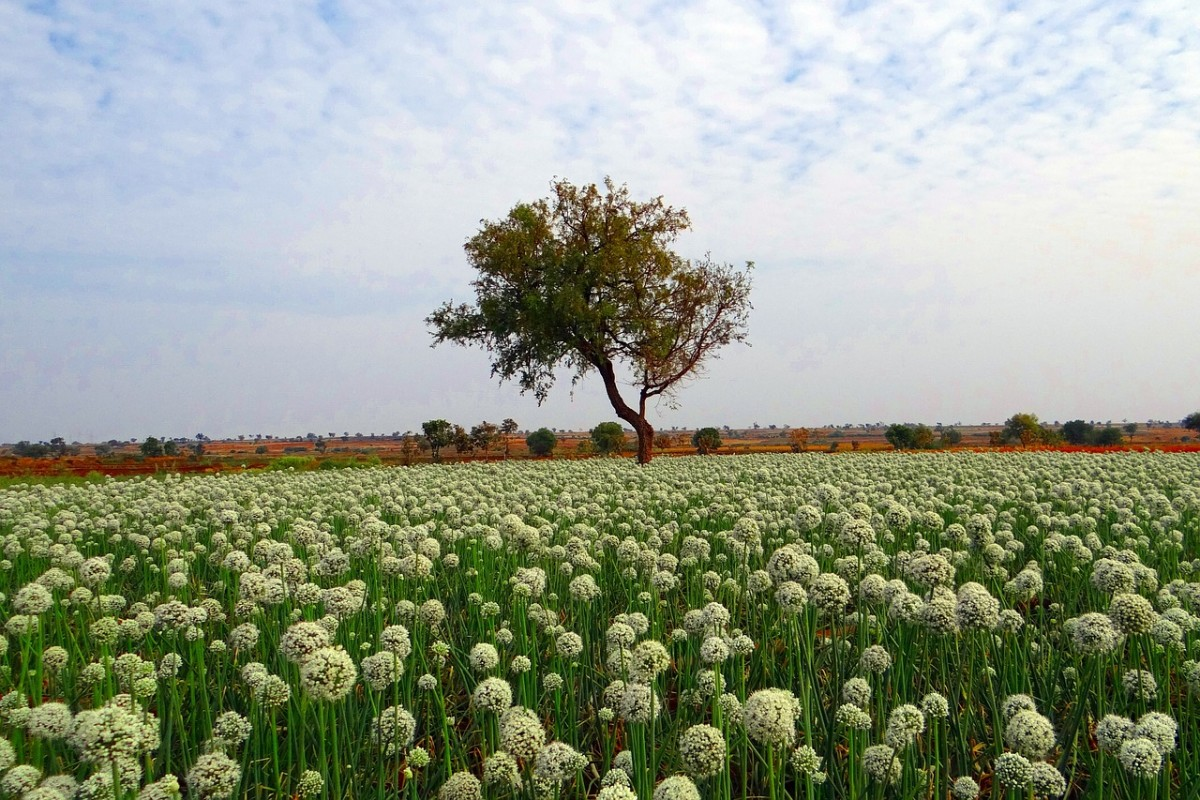 Onion field in India