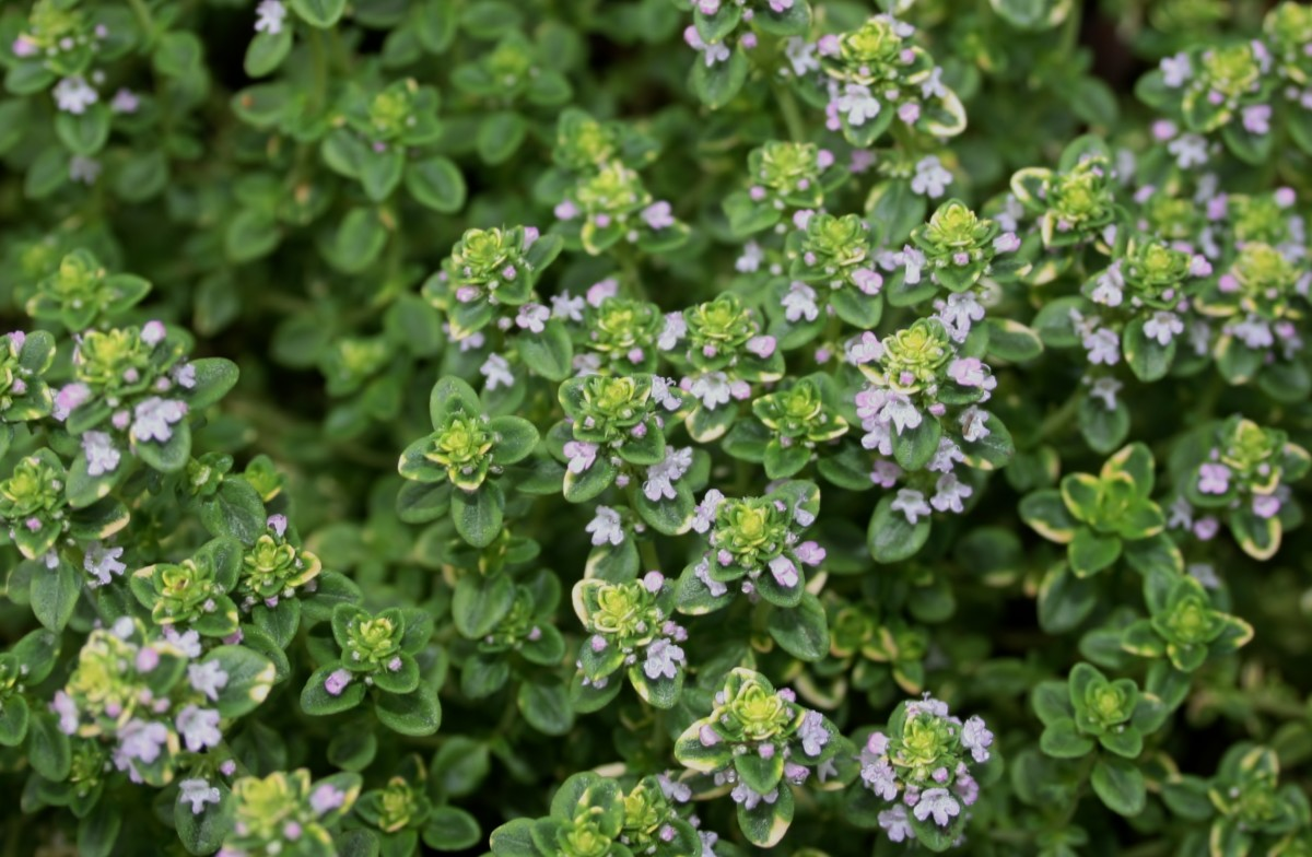 Give the blooming sprigs a miss when harvesting thyme for cooking.