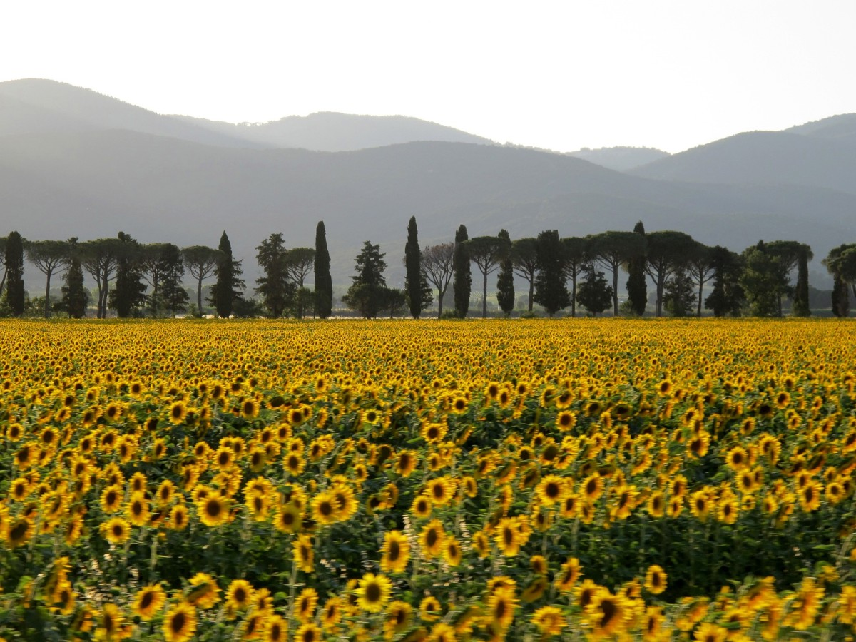 Sunflowers in a field in Italy.
