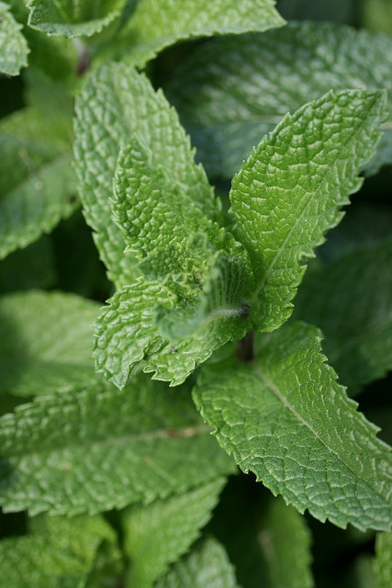 Mint has many beneficial properties including being an excellent digestion aid.