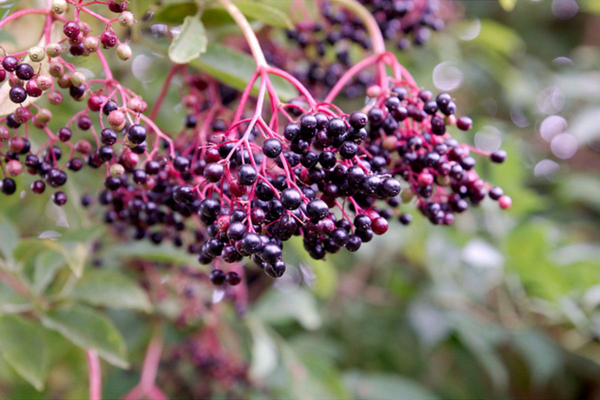 Elderberries are a powerful tool in preventing and fighting off colds and flu.