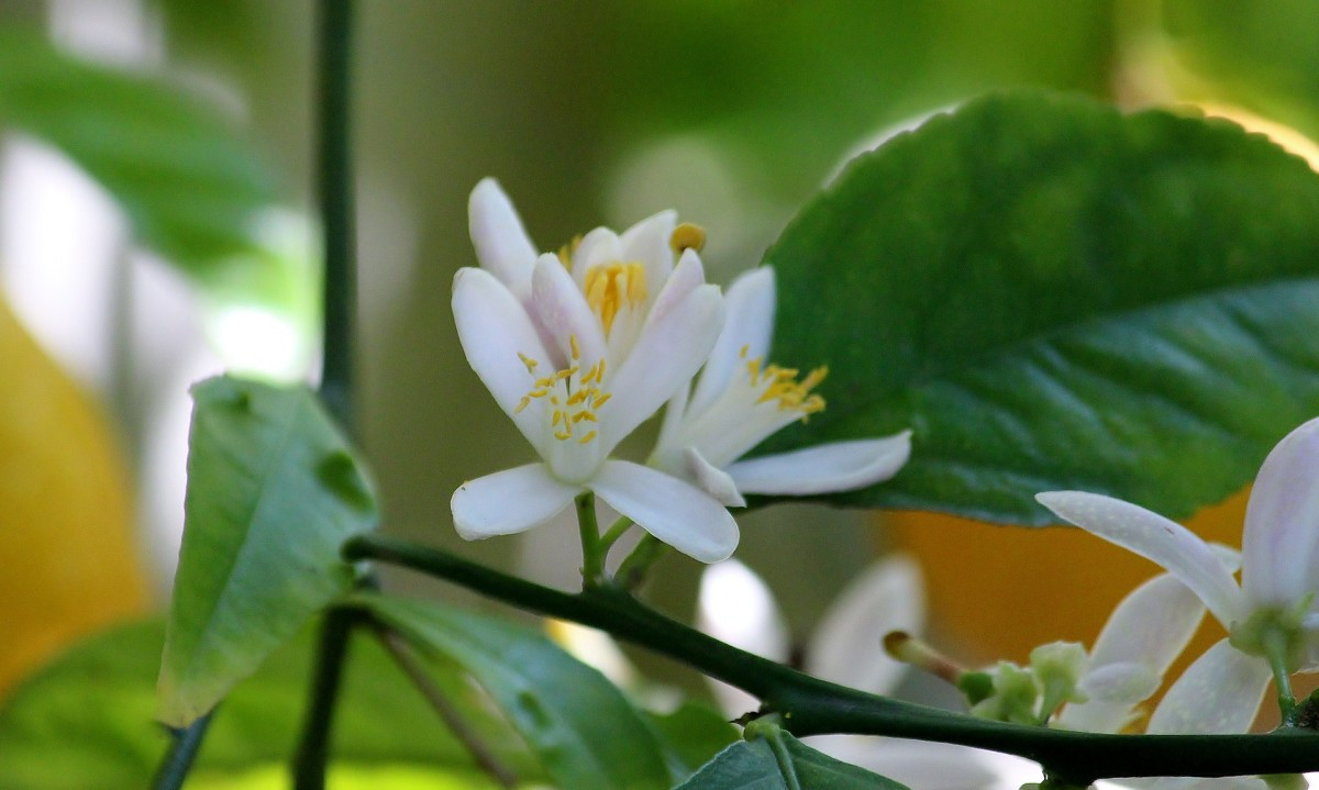 a ridiculously fragrant lemon blossom!