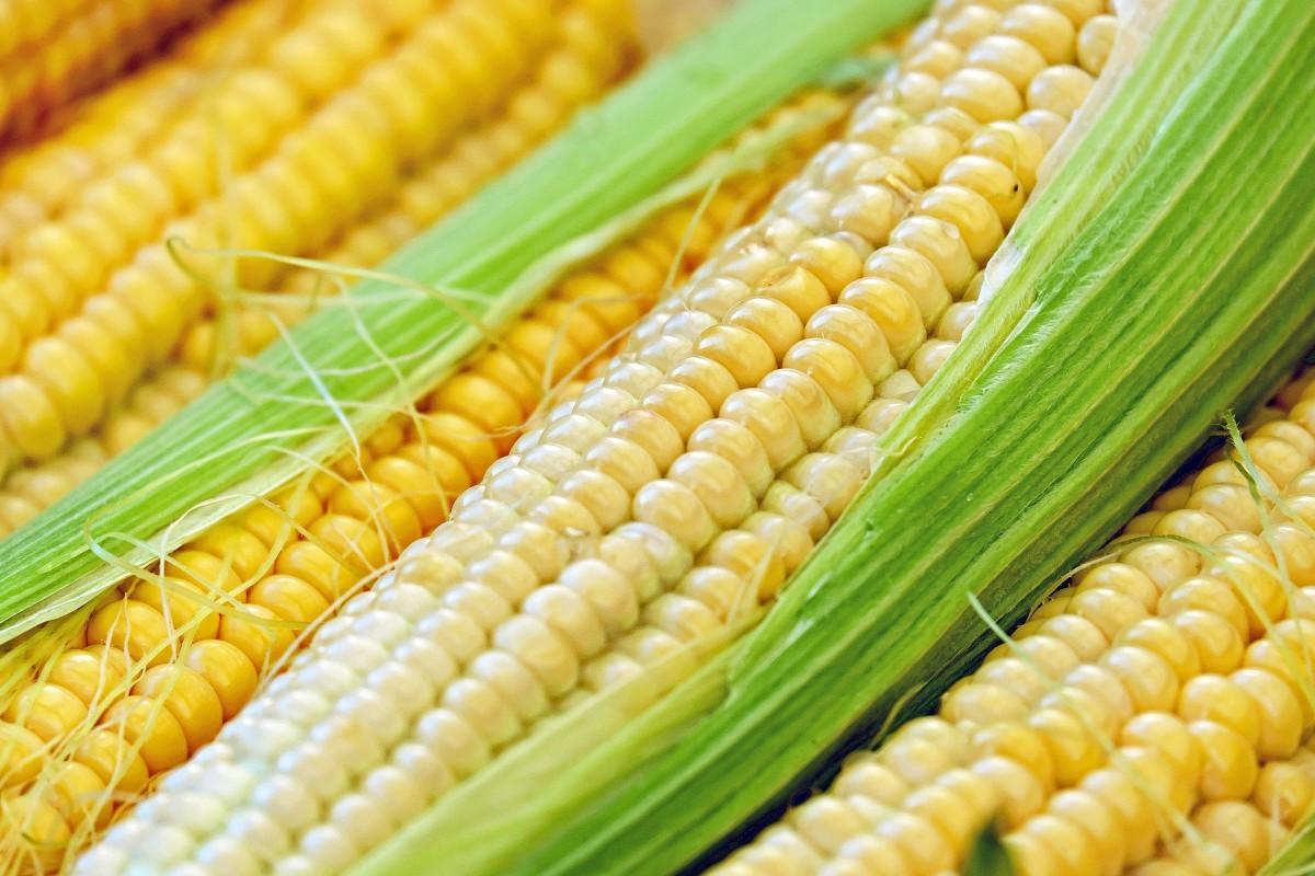 fresh picked corn