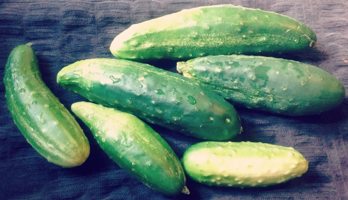 Fresh picked cucumbers