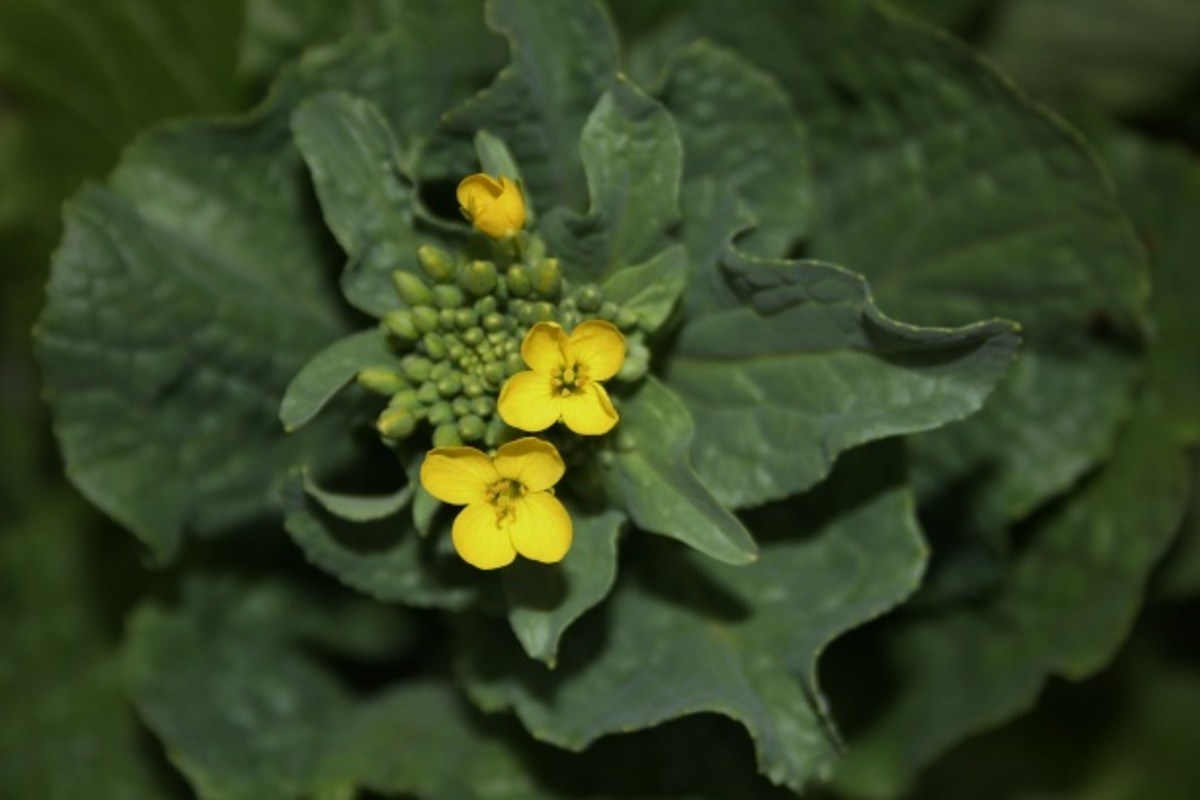 cruciferous vegetable flower