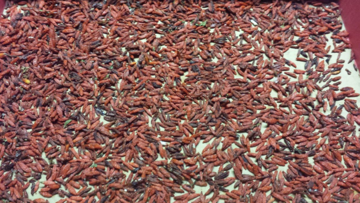 Step four: Goji berries have finished drying once hardened and the colour is darker.