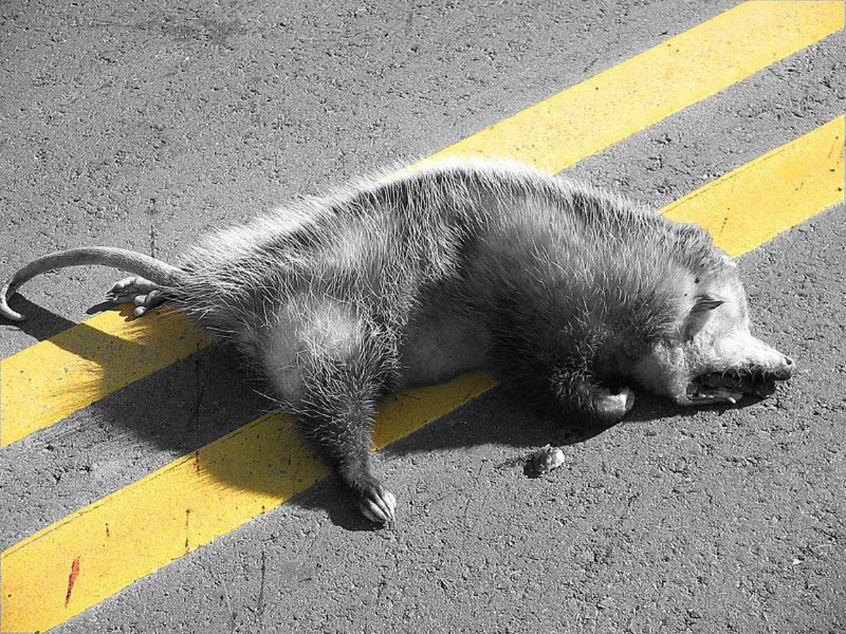 An ex-possum.