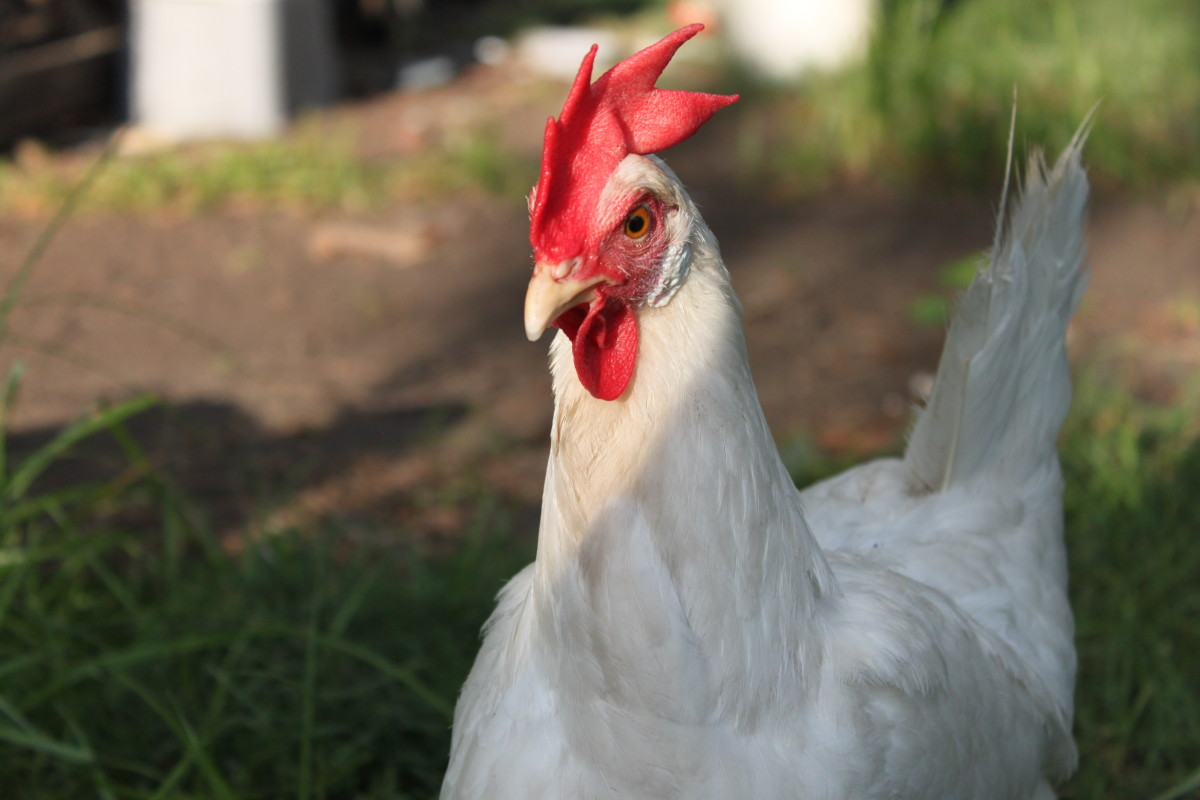 White leghorns are the primary source of white eggs in the USA, but their egg color and feather color is only a coincidence.