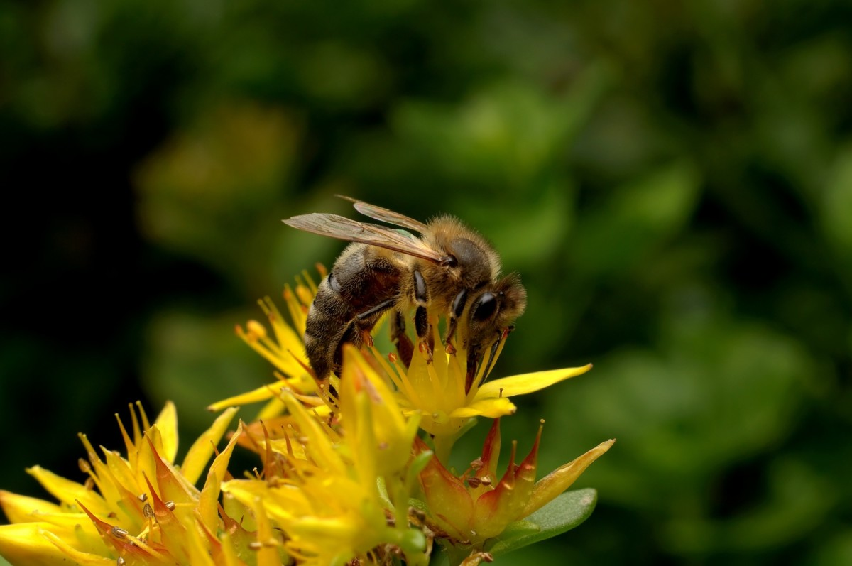 Honeybees must tap over 2 million flowers to make one pound of honey