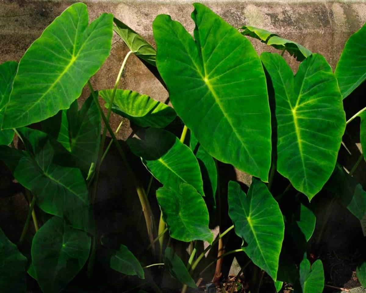 Taro leaves (Colocasia leaves)