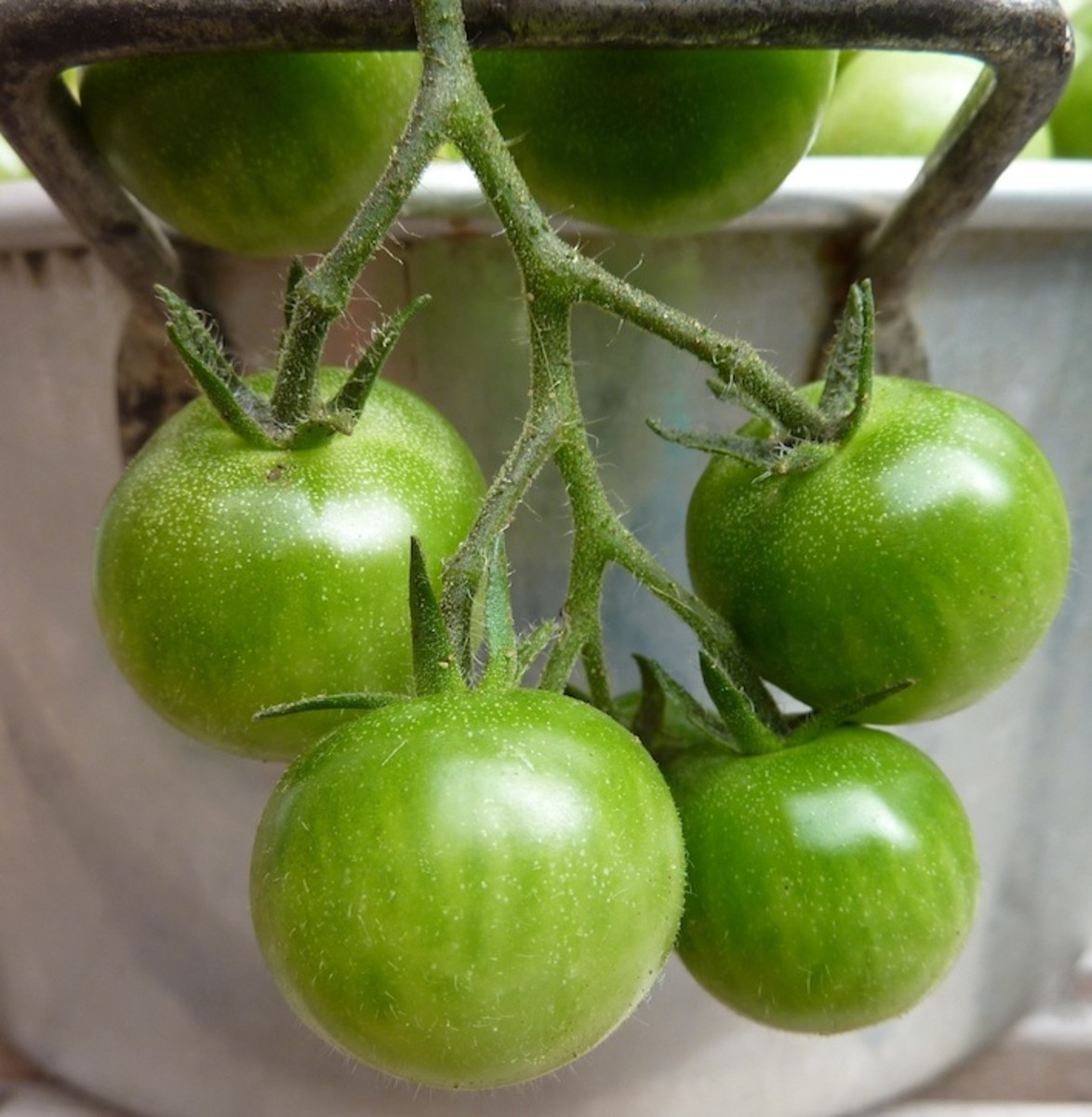 the-jewish-origins-of-fried-green-tomatoes-and-a-kosher-non-dairy-gluten-free-recipe