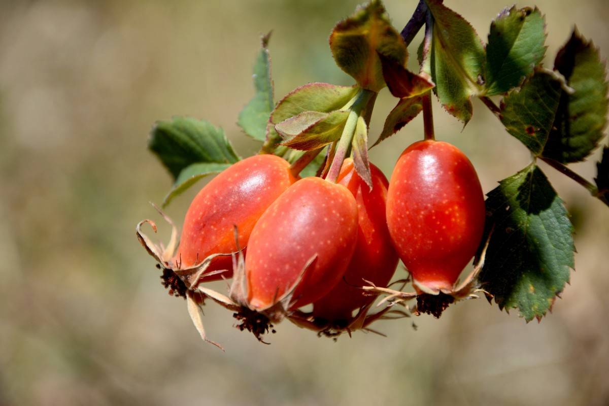 The most opportune time to harvest rose hips is in the fall shortly after the first frost, because they tend to be sweeter around then.