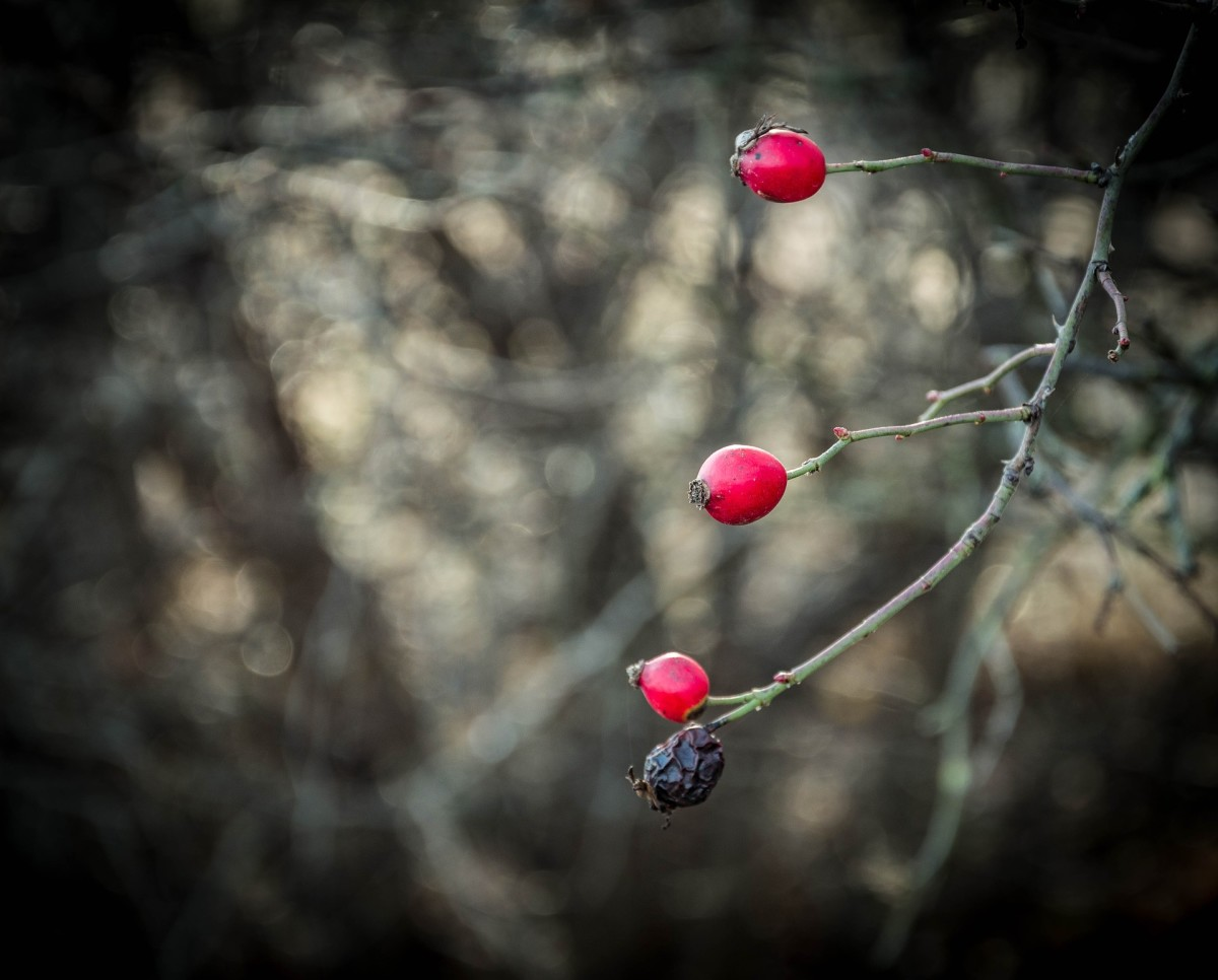 Be sure to wear gloves when you harvest rose hips to protect your hands from the thorns.