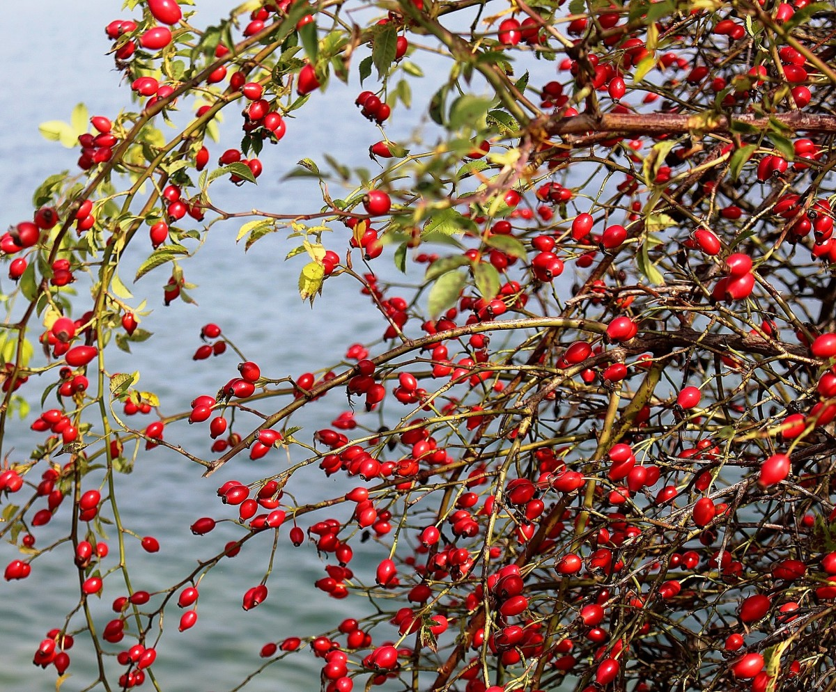 Rose hips are the sweet berries of the rose bush.