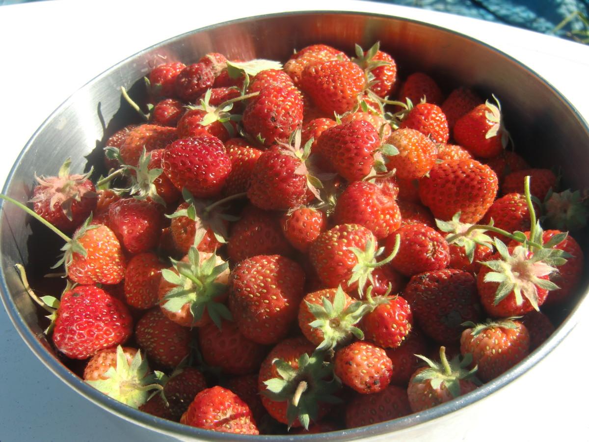 Fresh Picked Ogalala Strawberries
