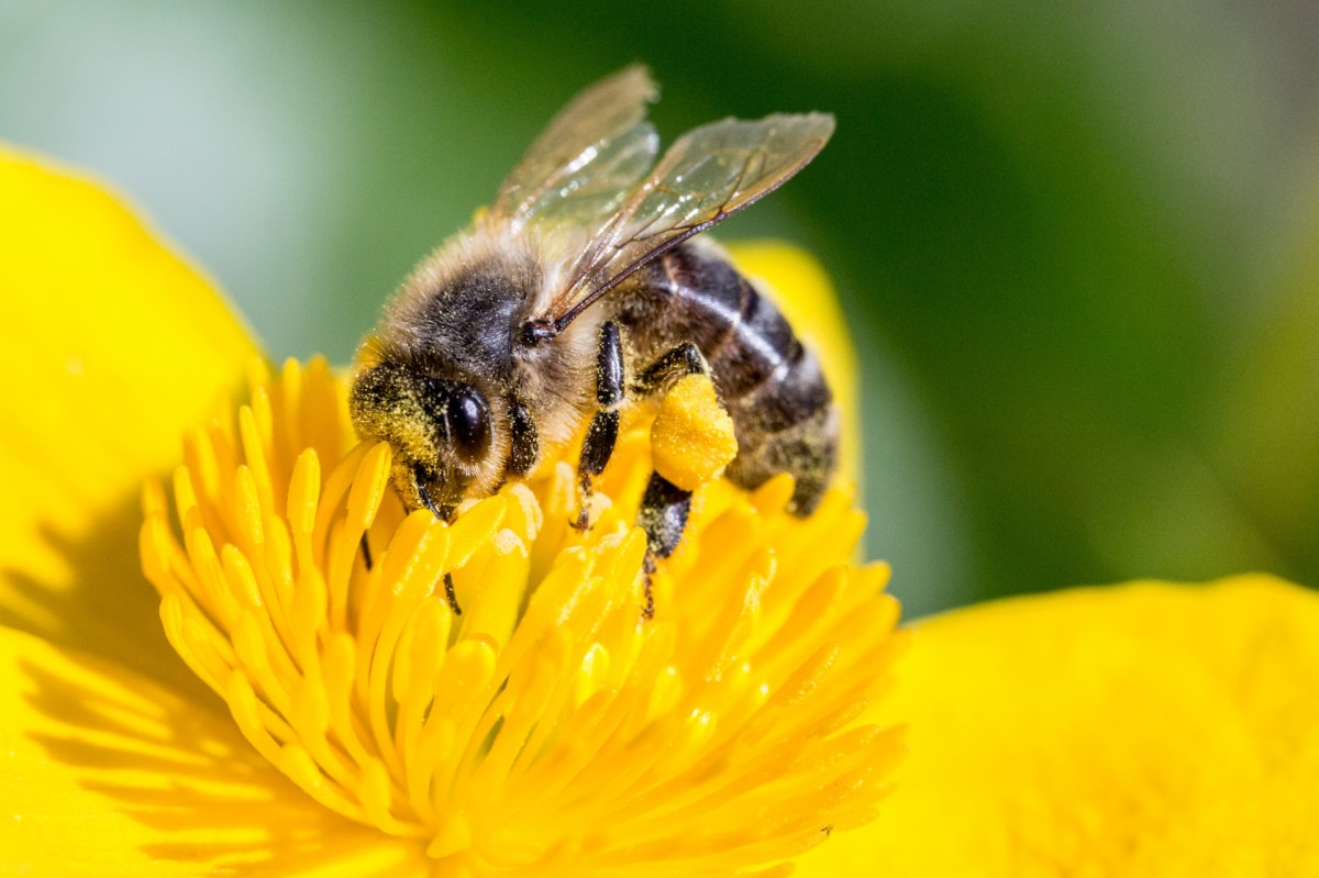 Bee on a yellow flower.