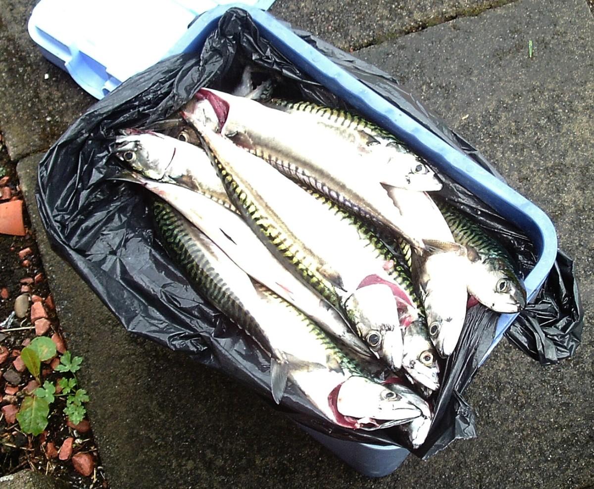 Freshly caught mackerel