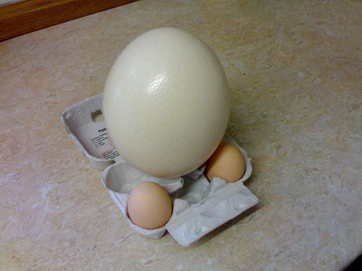 An ostrich egg sitting next to two chicken eggs.