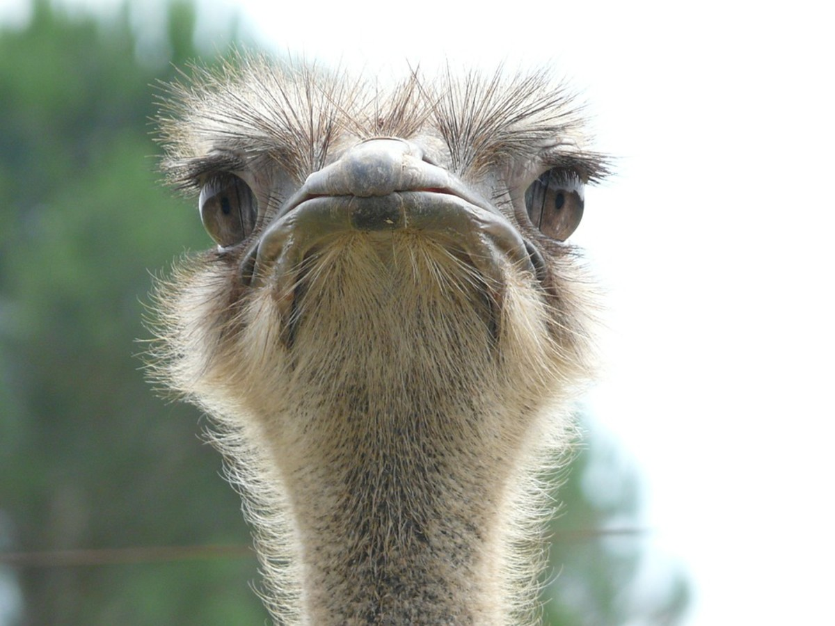 An ostrich can deliver a fatal kick if you steal their eggs.