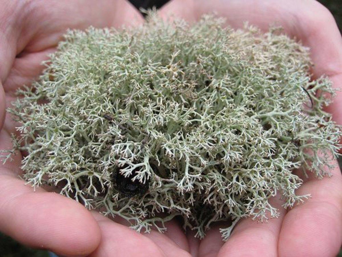 Deer lichen - half a yum.