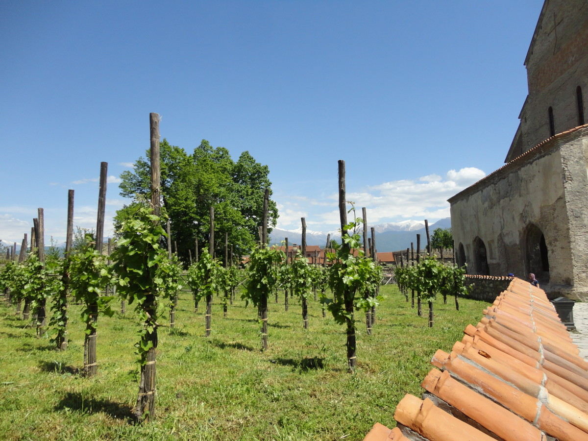 Georgian vineyard in a Georgian monastery