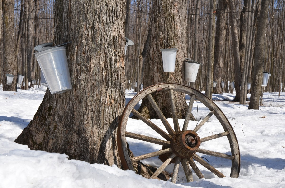 exploring-maple-syrup