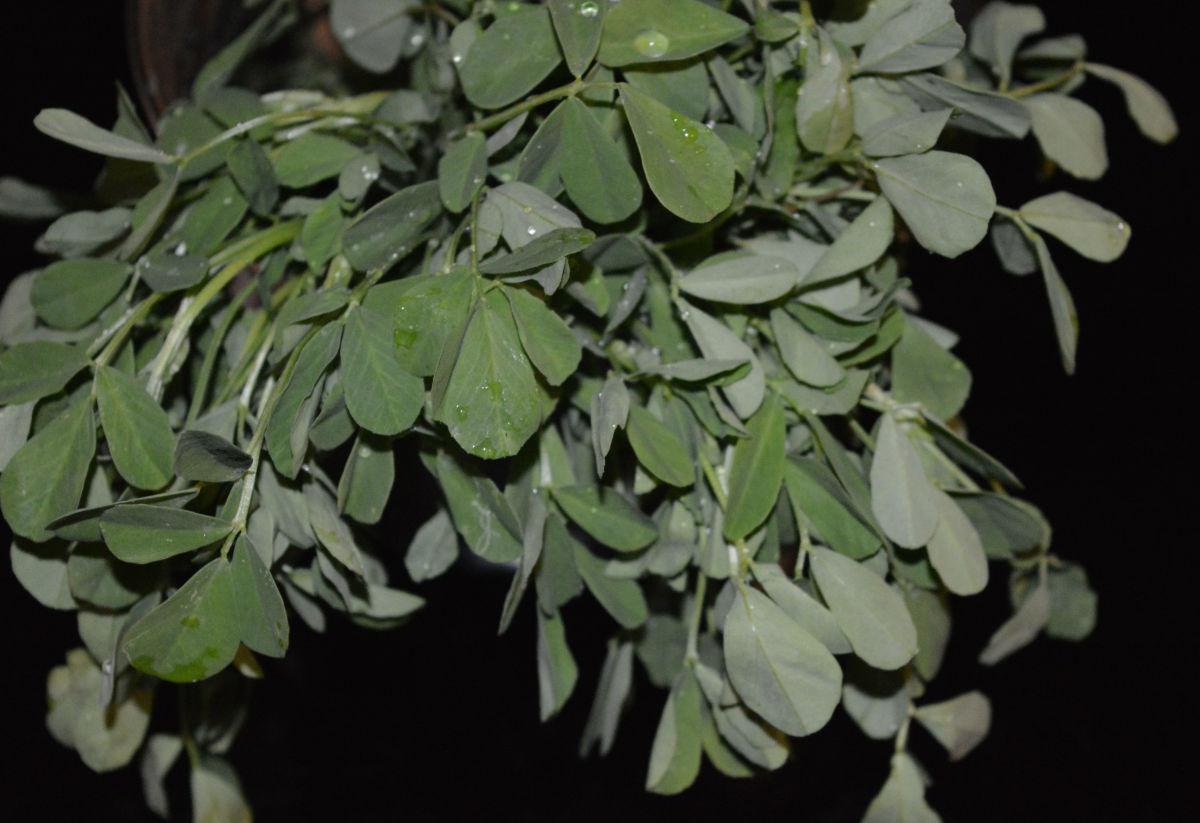 Fenugreek leaves (methi leaves).