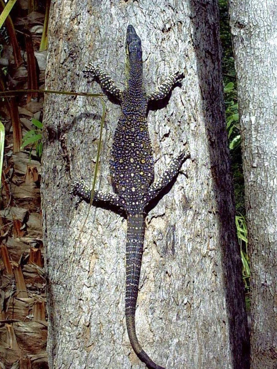 Bayawak or monitor lizard.
