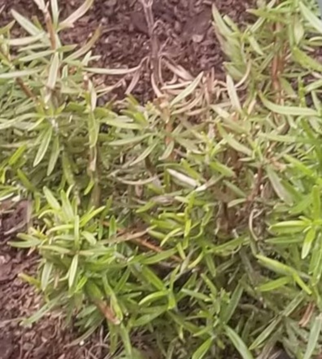 Rosemary plant in our community herb garden