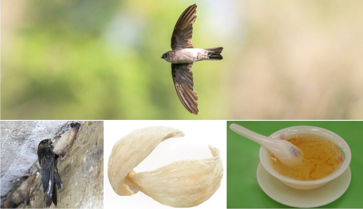 This photo shows the swiftlet bird creating a nest, the finished product, and a bowl of soup in which it is used.