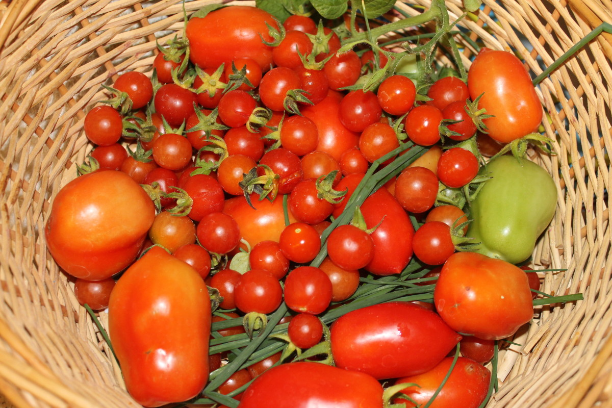 Fresh picked tomatoes and herbs