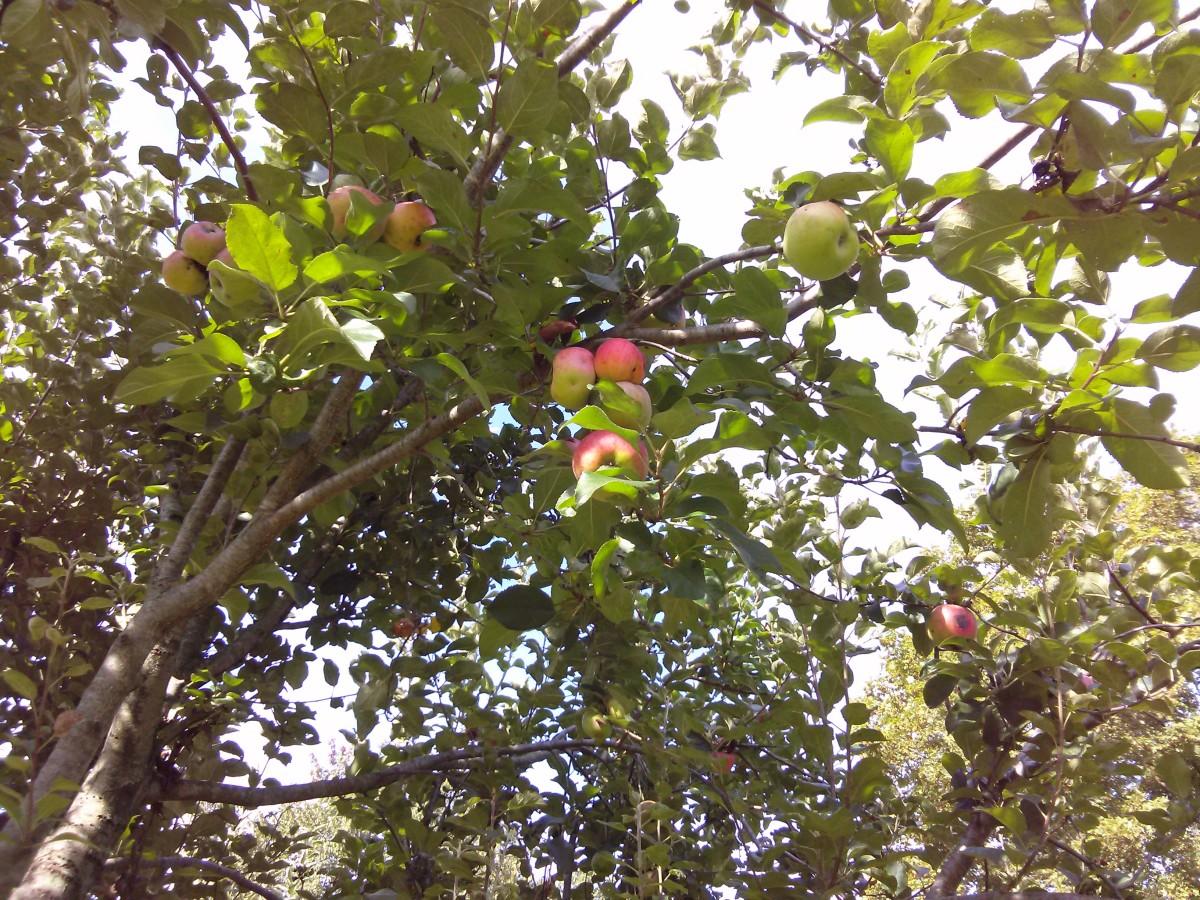 My apple tree was loaded!
