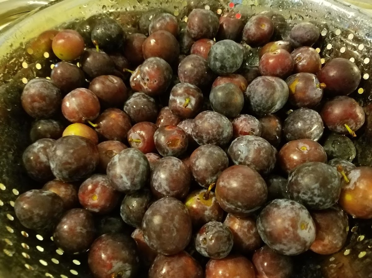 Plums washed and ready for processing.