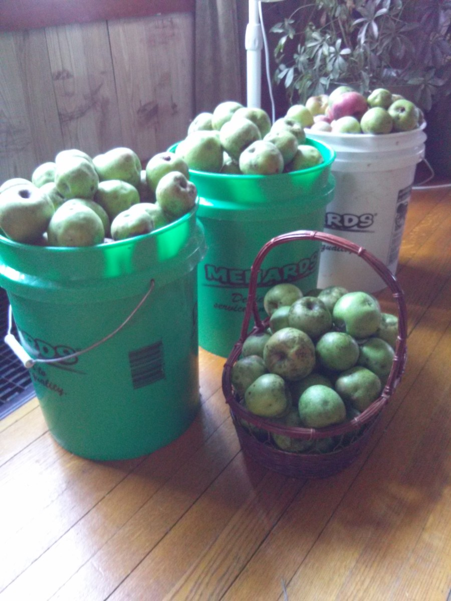 Picked apples await processing.
