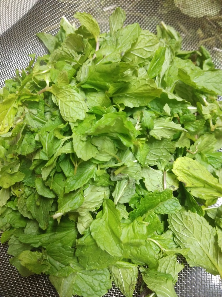 Pluck fresh leaves from stems, wash to remove dirt, and set aside.