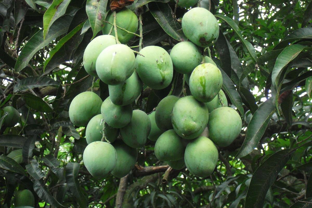 Amchur (Unripe Mango Powder)