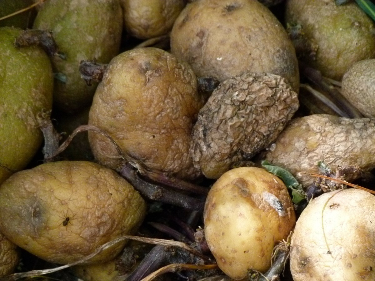 Blighted potatoes