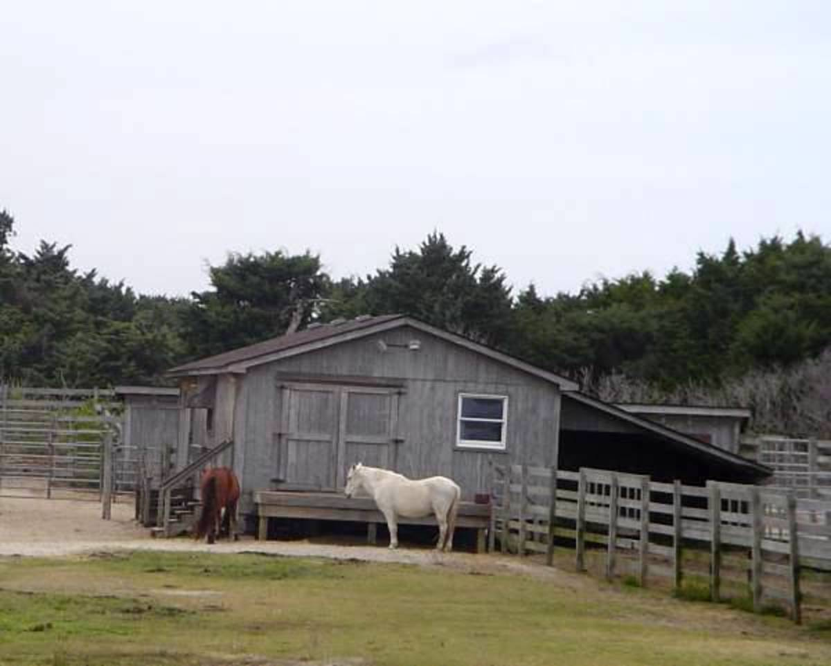Ocracoke's Ponies are managed by the National Park Service.