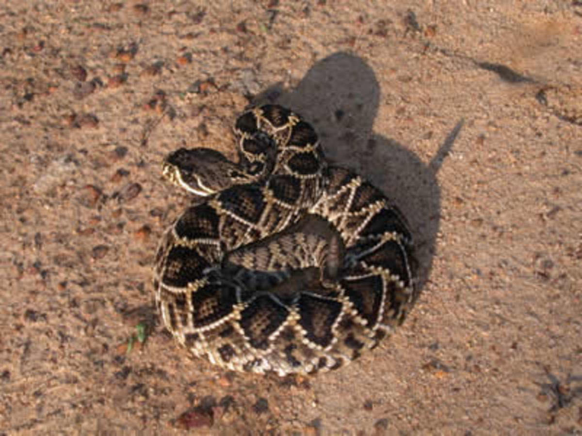 An Eastern Diamondback Rattlesnake