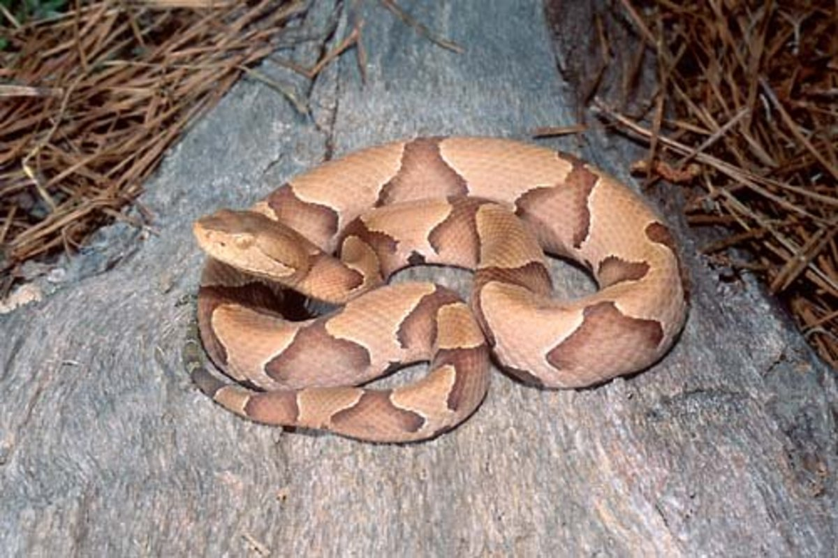 An adult copperhead -- keep your distance!