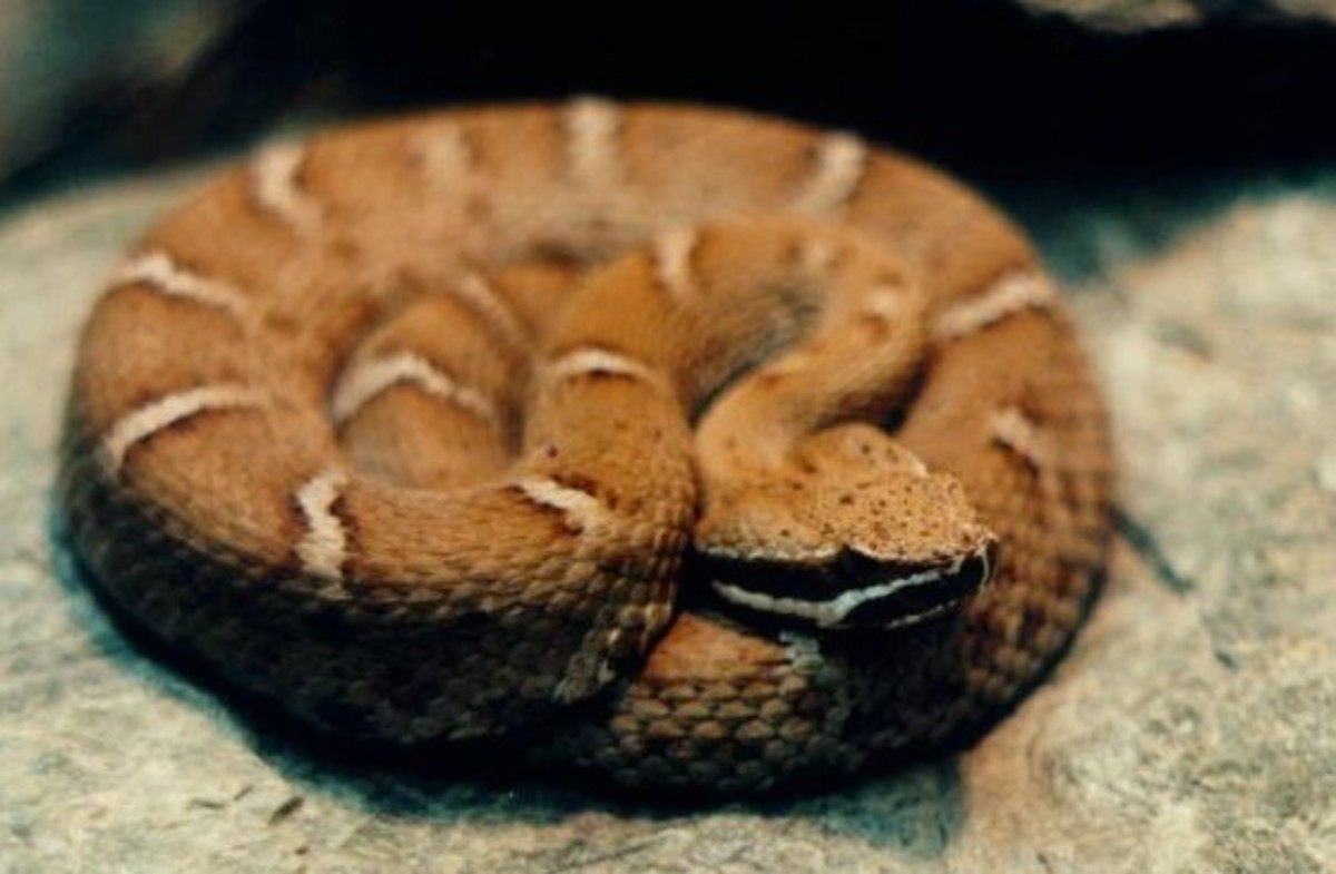 Ridgenose Rattlesnake