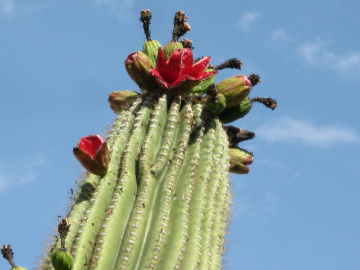 Dark Red fruit atop a giant Saguaro Cactus