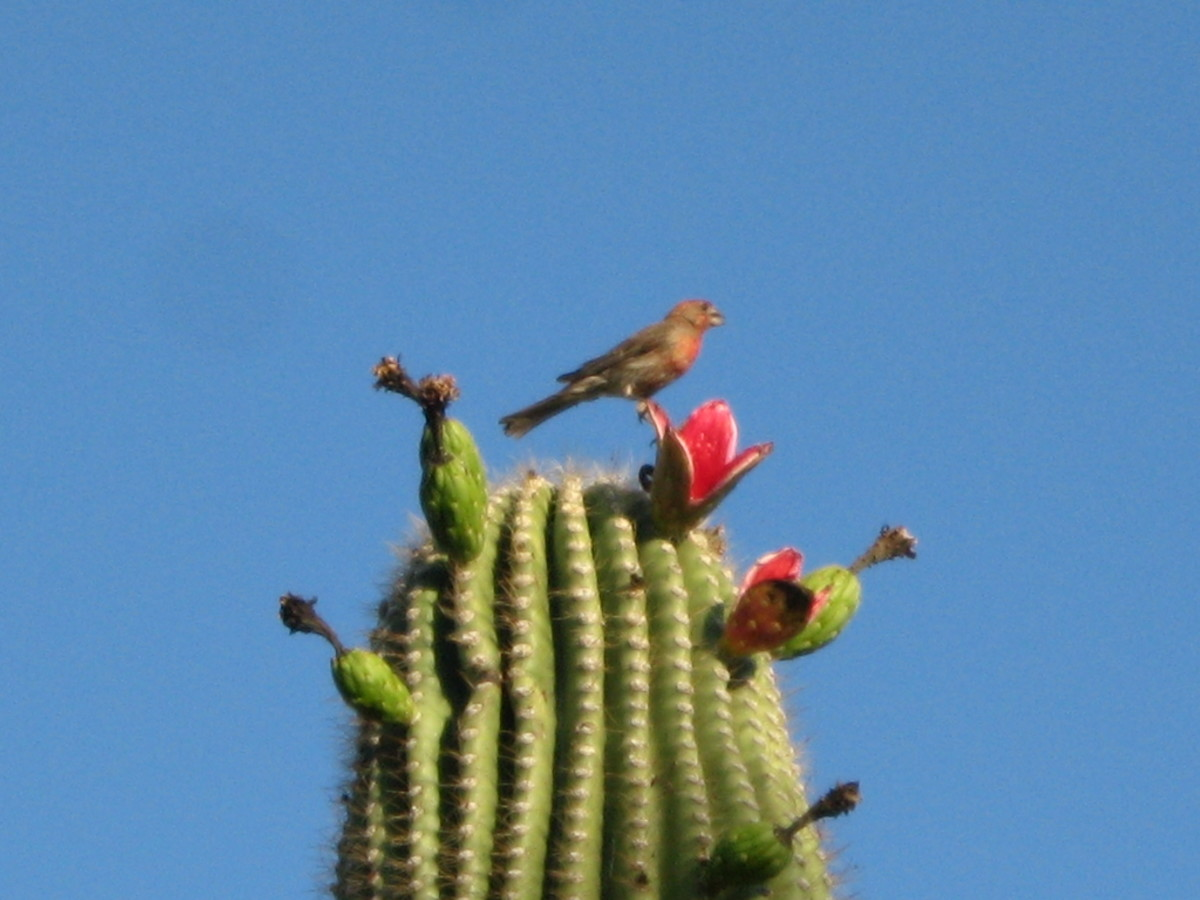 Saguaro Cacti attract birds and bugs which enjoy dining on its sweet fruit.