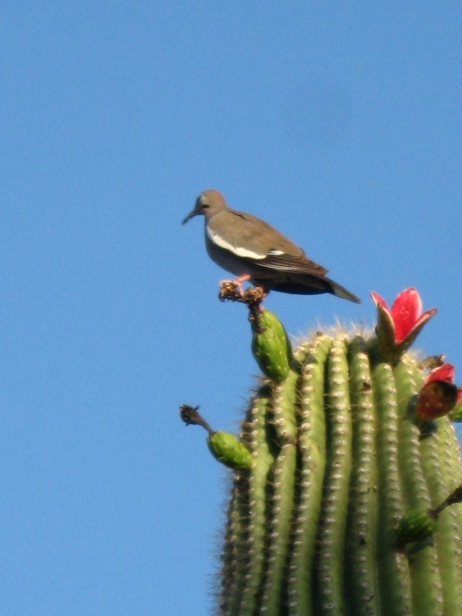 Dove enjoys view after eating some of the red fruit on a Saguaro Cactus